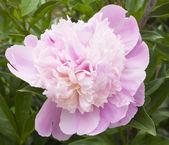 玫瑰天竺葵 — 图库照片