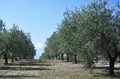 Pole zelené olivy — Stock fotografie