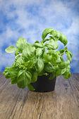 Plant of basil — Stock Photo