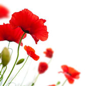 Poppies isolated on white — Stock Photo