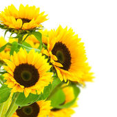 Sunflowers border — Stock Photo