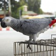 Stock Photo: Africgrey parrot sitting on cage