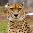 Cheetah — Stock Photo #6905589
