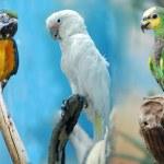 3 parrots — Stock Photo