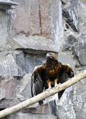Eagle on a branch — Stock Photo