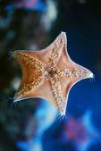 Starfish located on glass of an aquarium — Stock Photo