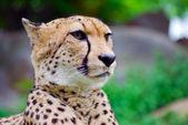 Portrait of a cheetah — Stock Photo