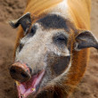 Pig smiles - Stok fotoraf