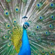Stock Photo: Close-up of a proud peacock showing off
