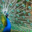 Close-up of a proud peacock showing off — Stock Photo