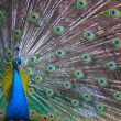 Close-up of proud peacock showing off — Stock Photo #6931258