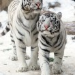 Stock Photo: Two white tigers