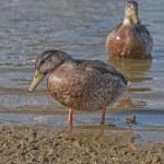 Duck in water — Stock Photo