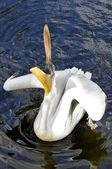 Pelican — Foto de Stock