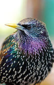 Common Starling — Stock Photo