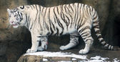 White Tigers — Stock Photo