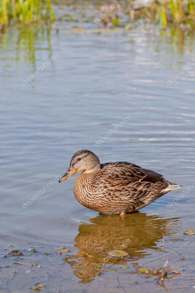 Duck in water  Stock Photo #6932899