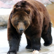 Grizzly Bear Walking - Stockfoto