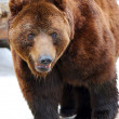 Grizzly Bear Walking — Stok fotoğraf
