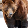 orso grizzly camminando — Foto Stock