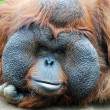 Orangutan - monkey with greater cheeks - Stock Photo