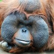 Orangutan - monkey with greater cheeks — Foto Stock