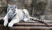 White Tiger — Stockfoto
