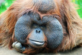 Orangutan - monkey with greater cheeks — Stock Photo