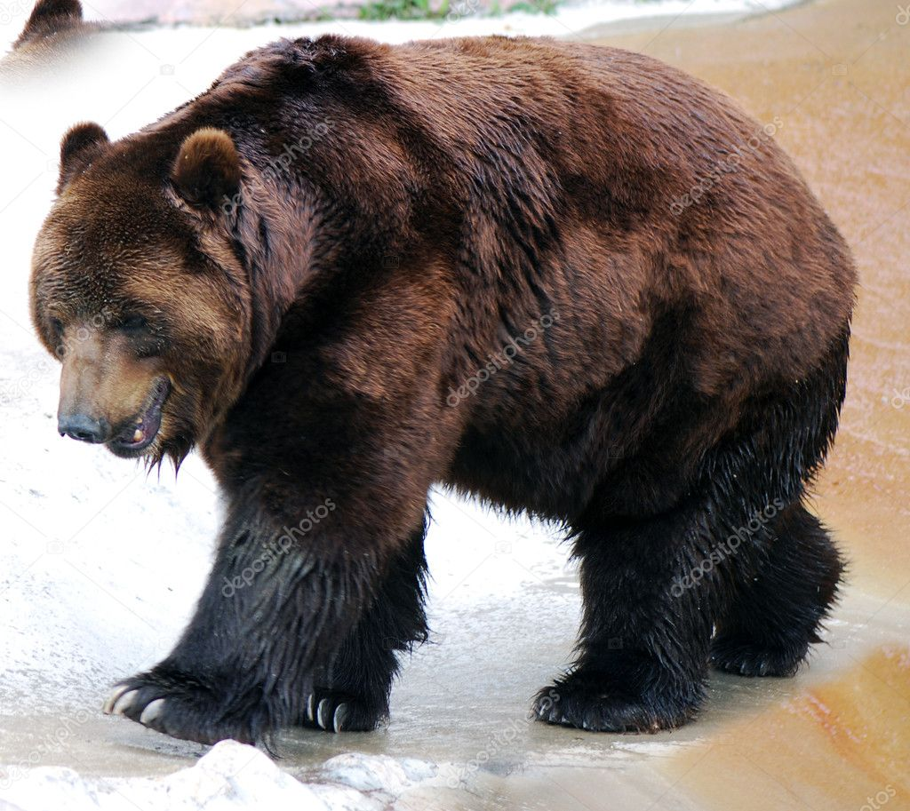 Grizzly bear walking - photo#21