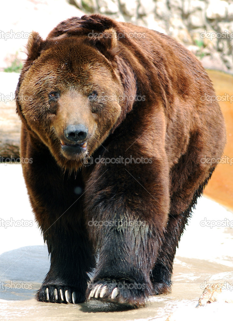Grizzly Bear Walking — Stock Photo #6968281