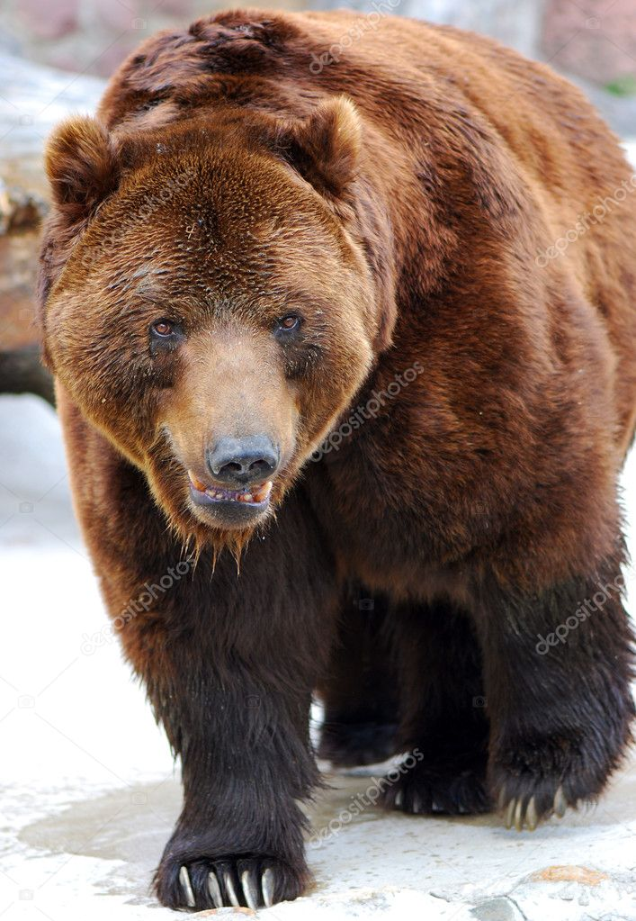 Grizzly bear walking - photo#17