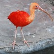 Stock Photo: Scarlet ibis
