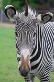 Head of zebra in green field — Stock Photo