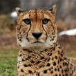 Cheetah — Stock Photo #6989005