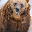 Brown Bear — Stock Photo #6989178