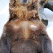 Brown Bear — Stock Photo #6989187