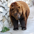 Brown Bear — Stock Photo #6989189
