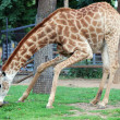 Giraffe eating grass - Stock Photo