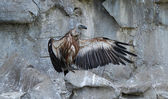 Griffon Vulture — Photo