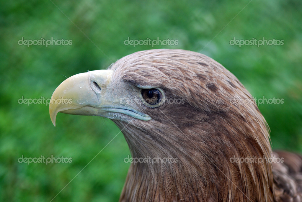 Profile of eagle — Stock Photo #6989156
