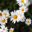 Camomile — Stock Photo #7044036