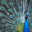 Peacock peafowl with his tail feathers - Stock Photo