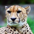 Cheetah — Stock Photo #7044159