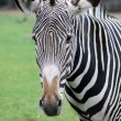 Close up portrait of Zebra head - Stockfoto