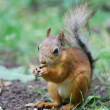 Squirrel - Lizenzfreies Foto
