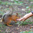 Red squirrel — Stock Photo #7044230