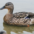 Mallard, Female - Stockfoto