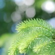 Close up of spruce branch — Stock Photo