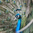 Peacock peafowl with his tail feathers - Stockfoto