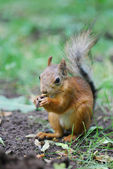 Squirrel — Foto Stock